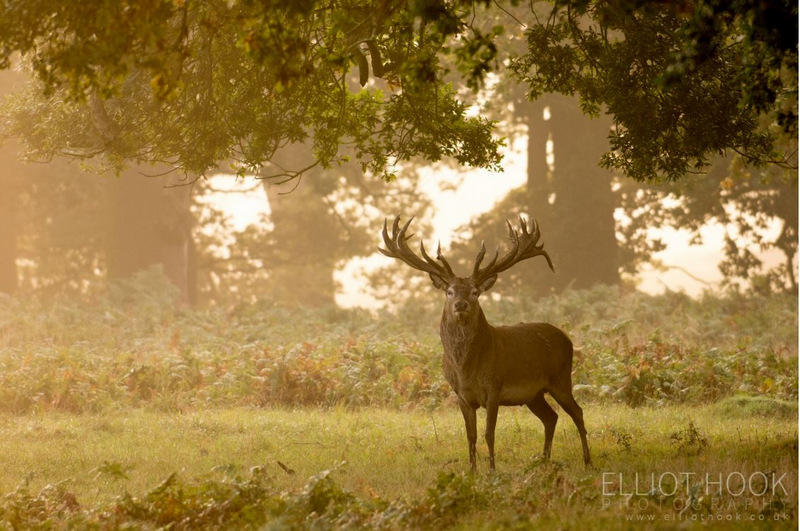 Elliot Hook red deer stag